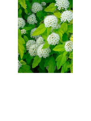 PHYSOCARPUS OP.DARTS GOLD