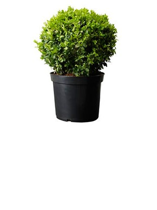 BUXUS SEMPREVIRENS